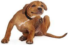 Présence de puces sur votre chien