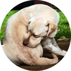Votre chien se gratte, vérifiez s'il est porteur de puces