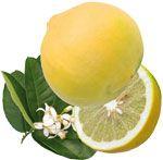 Bergamotier - Citrus bergamia