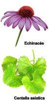Actifs Fleur d'échinacée bio et Centella asiatica