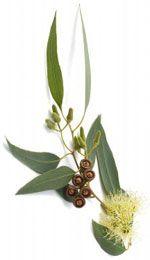 Eucalyptus globulus