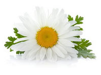Fleur de camomille bio