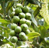 Macadamier, macadamia ternifolia