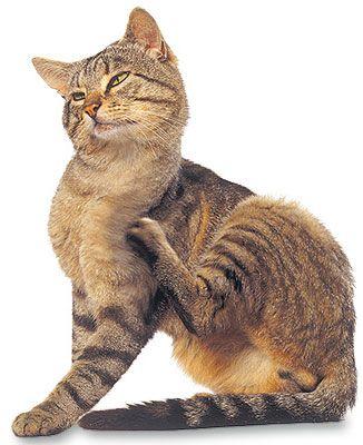 Utiliser un peigne anti-puce lorsque votre chat se gratte