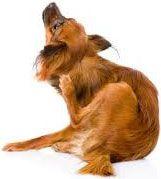 Utiliser un peigne anti-puce lorsque votre animal se gratte