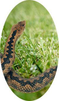 Repousser les serpents naturellement avec notre répulsif serpents