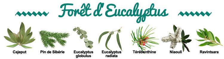 Composition de la synergie Forêt d'Eucalyptus