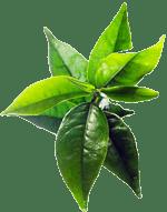 Feuille d'arbre à thé